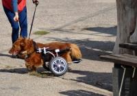 Krzyś- Pies Sparaliżowany